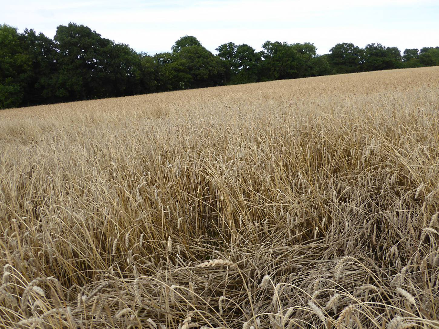 Ble de Haie, farm review pre-harvest '17 - 6:33pm&nbsp;1<sup>st</sup>&nbsp;Aug.&nbsp;'17  <a href='http://maps.google.com/?t=h&q=51.209353,-0.086822&z=18&output=embed' target=_blank><img src='http://www.brockwell-bake.org.uk/img/marker.png' style='border:none;vertical-align:top' height=16px></a>
