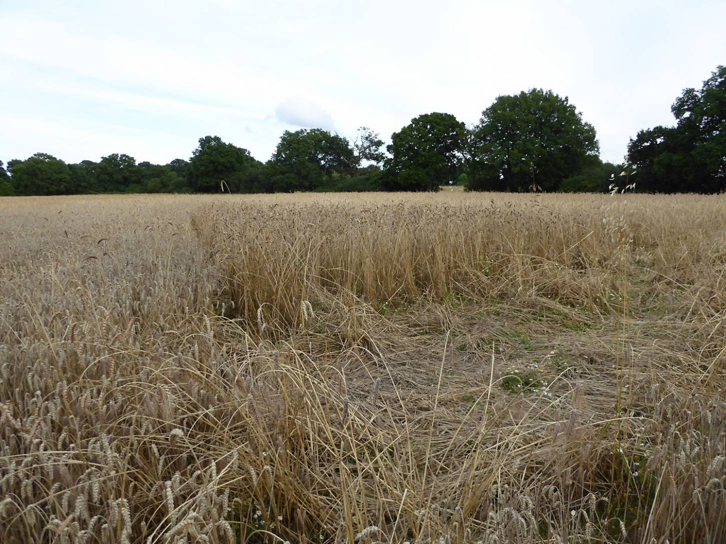 Purple Naked Spelt population in middle, lodged Blue Cone Rivet in front, Nelson left, farm review pre-harvest '17 - 6:34pm&nbsp;1<sup>st</sup>&nbsp;Aug.&nbsp;'17  <a href='http://maps.google.com/?t=h&q=51.208553,-0.086953&z=18&output=embed' target=_blank><img src='http://www.brockwell-bake.org.uk/img/marker.png' style='border:none;vertical-align:top' height=16px></a>