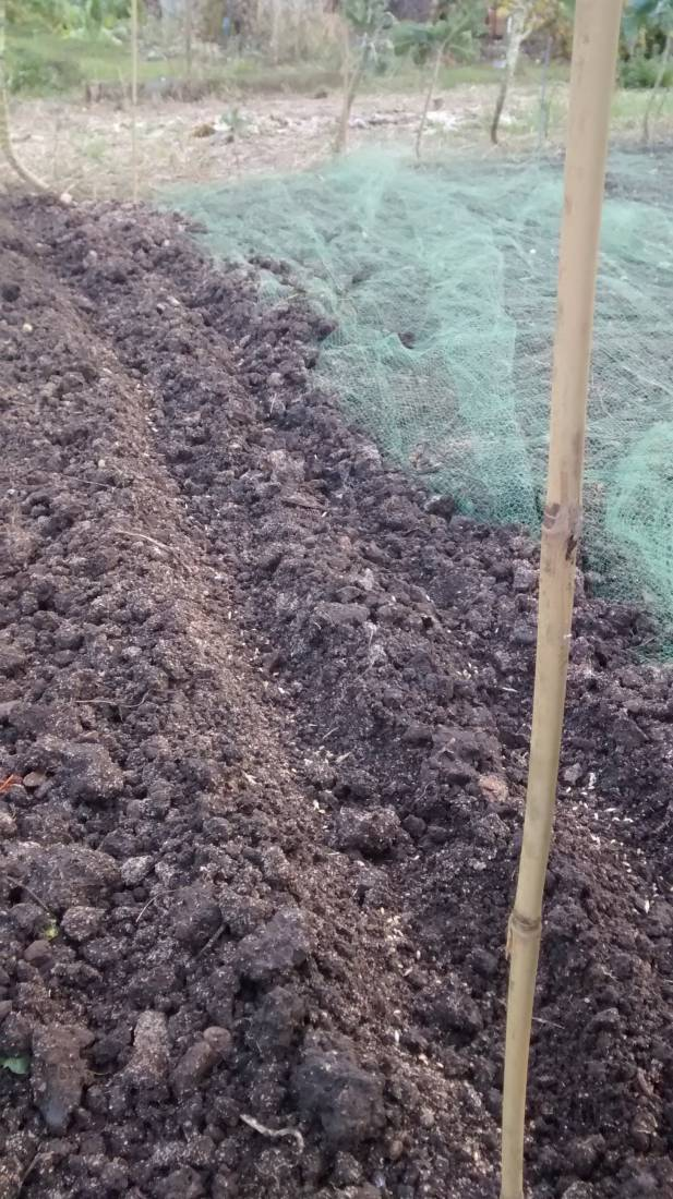 sowing on Rosendale allotments, Old Burwell going in - 4:29pm&nbsp;25<sup>th</sup>&nbsp;Oct.&nbsp;'16  <a href='http://maps.google.com/?t=h&q=51.444138,-0.101102&z=15' target=_blank><img src='http://www.brockwell-bake.org.uk/img/marker.png' style='border:none;vertical-align:top' height=16px></a>