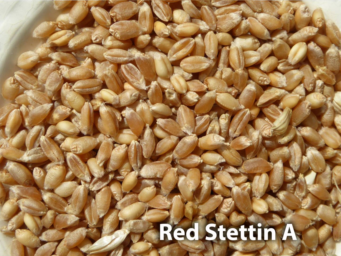 <a href='http://www.wheat-gateway.org.uk/hub.php?ID=57' target='_blank'>Red Stettin</a> grain samples, Red Stettin A