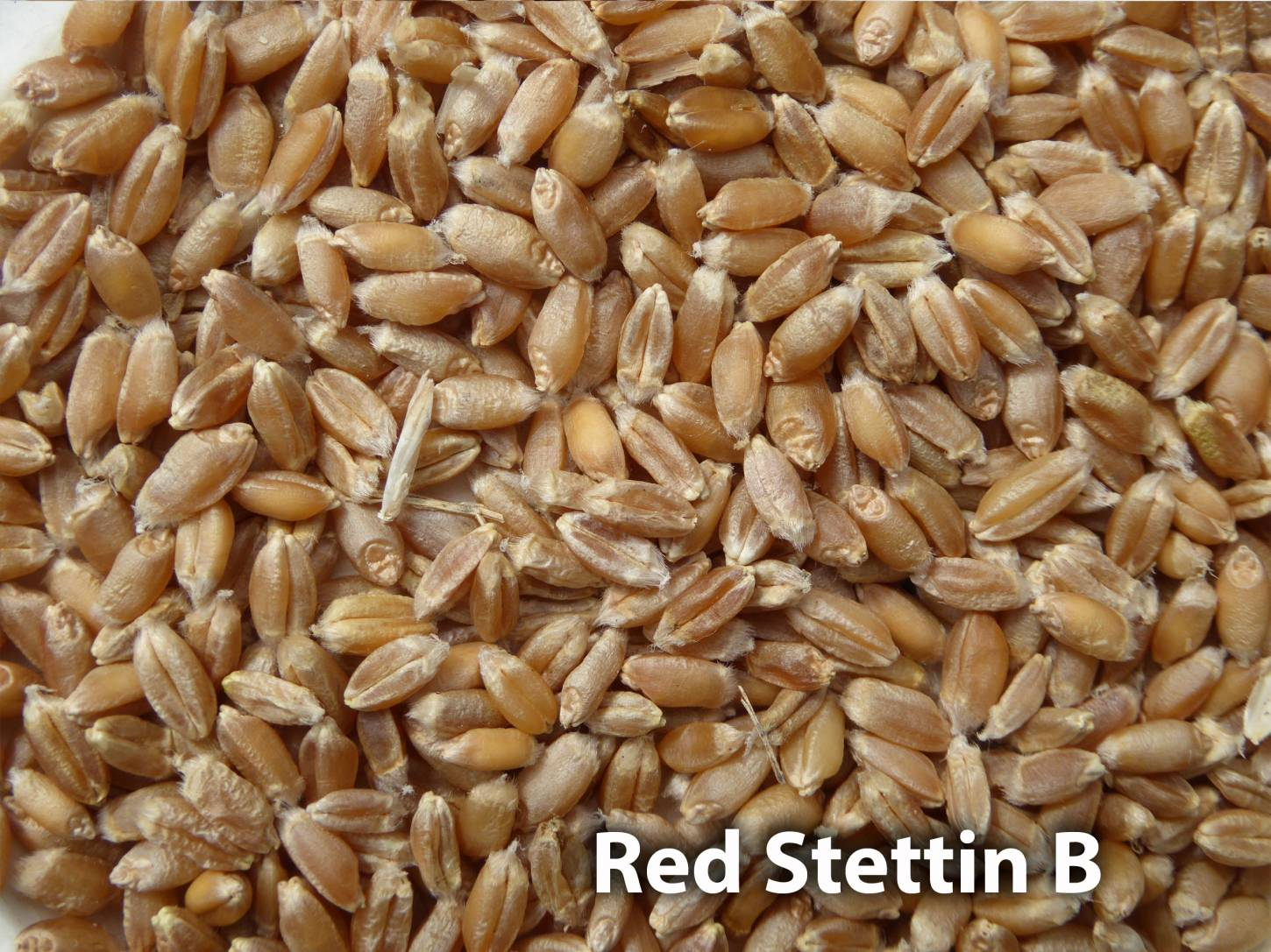 <a href='http://www.wheat-gateway.org.uk/hub.php?ID=57' target='_blank'>Red Stettin</a> grain samples, Red Stettin B