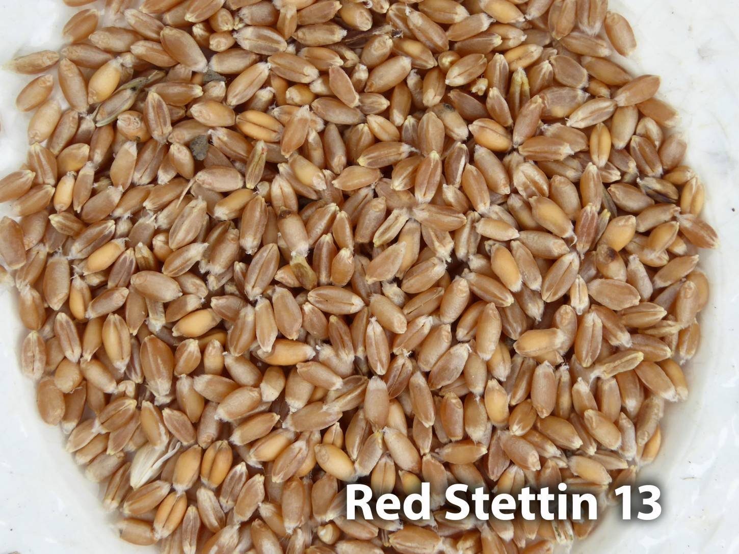 <a href='http://www.wheat-gateway.org.uk/hub.php?ID=57' target='_blank'>Red Stettin</a> grain samples, Red Stettin 13