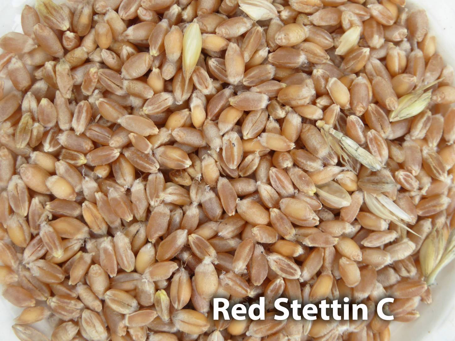 <a href='http://www.wheat-gateway.org.uk/hub.php?ID=57' target='_blank'>Red Stettin</a> grain samples, Red Stettin C