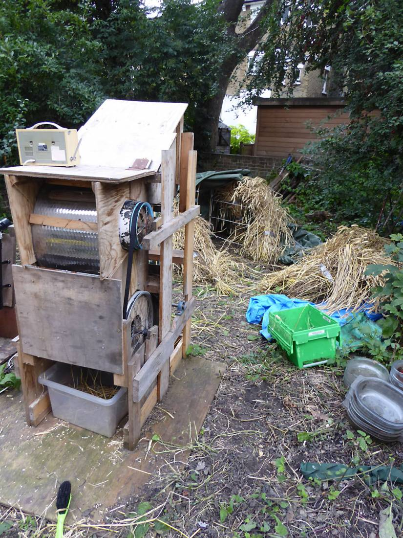 threshing the London allotment grown <a href='http://www.wheat-gateway.org.uk/hub.php?ID=57' target='_blank'>Red Stettin</a> - 5:43pm&nbsp;4<sup>th</sup>&nbsp;Aug.&nbsp;'17