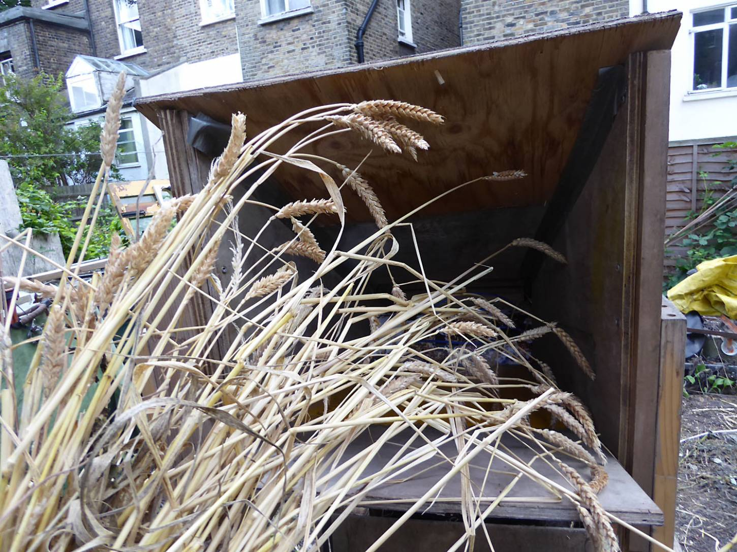 threshing the London allotment grown <a href='http://www.wheat-gateway.org.uk/hub.php?ID=57' target='_blank'>Red Stettin</a> - 5:45pm&nbsp;4<sup>th</sup>&nbsp;Aug.&nbsp;'17  <a href='http://maps.google.com/?t=h&q=51.470769,-0.103636&z=18&output=embed' target=_blank><img src='http://www.brockwell-bake.org.uk/img/marker.png' style='border:none;vertical-align:top' height=16px></a>
