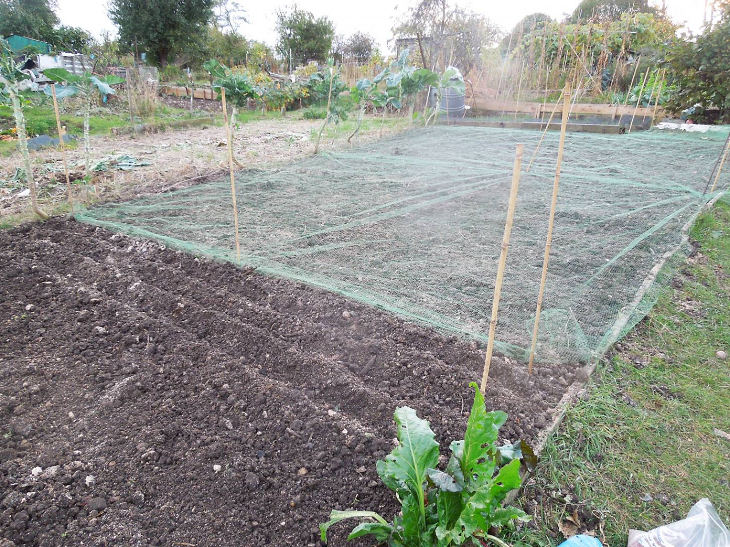 sowing Orange Devon Blue Rough Chaff on Plot 36 - 5:48pm&nbsp;26<sup>th</sup>&nbsp;Oct.&nbsp;'16
