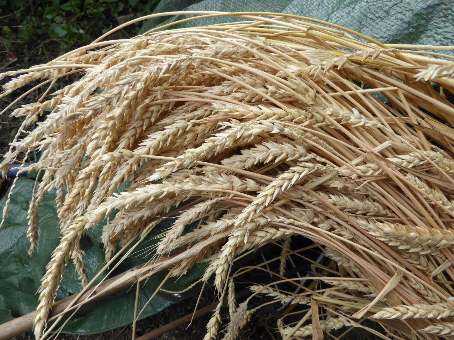 threshing out allotment grown <a href='http://www.wheat-gateway.org.uk/hub.php?ID=41' target='_blank'>Hen Gymro S72</a> - 3:17pm&nbsp;5<sup>th</sup>&nbsp;Aug.&nbsp;'17
