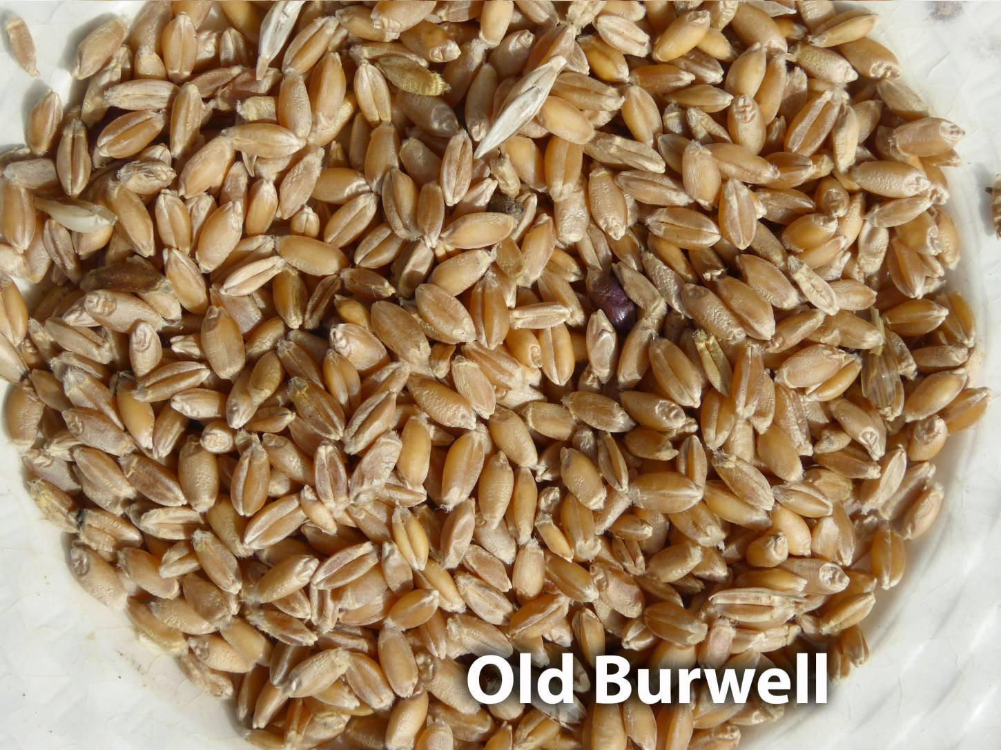 grain samples from allotment, <a href='http://www.wheat-gateway.org.uk/hub.php?ID=27' target='_blank'>Old Burwell</a>
