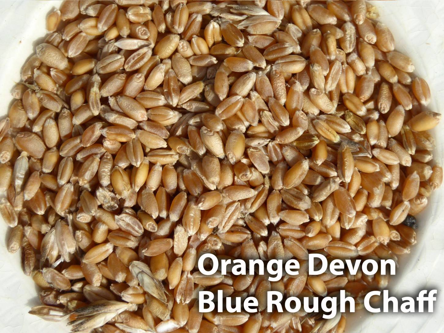 grain samples from allotment, <a href='http://www.wheat-gateway.org.uk/hub.php?ID=45' target='_blank'>Orange Devon Blue Rough Chaff</a>