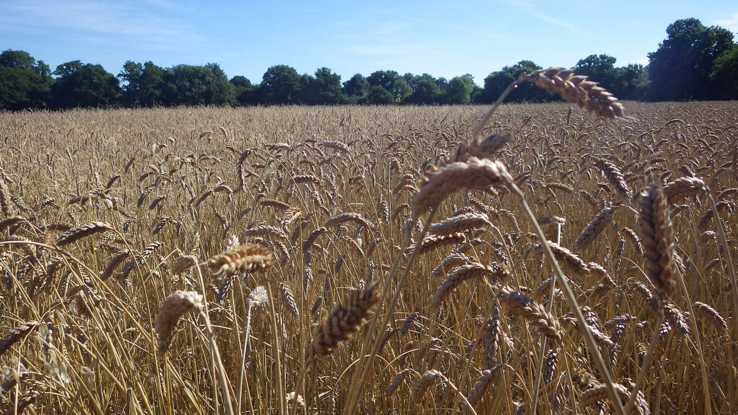 ready for harvest, our manual harvest at Lodge Farm, pics = <a href='http://thecrowsrestbakehouse.co.uk/about/the-baker/' target='_blank'>Alex Vaughan</a> - 9:19am&nbsp;13<sup>th</sup>&nbsp;Aug.&nbsp;'17