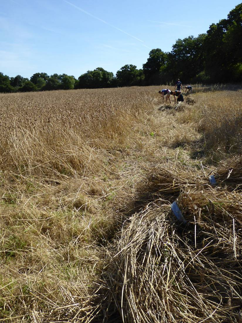 <a href='http://www.wheat-gateway.org.uk/hub.php?ID=51' target='_blank'>Blue Cone Rivet</a> getting harvested, our manual harvest at Lodge Farm - 10:45am&nbsp;13<sup>th</sup>&nbsp;Aug.&nbsp;'17  <a href='http://maps.google.com/?t=h&q=51.207975,-0.086769&z=18&output=embed' target=_blank><img src='http://www.brockwell-bake.org.uk/img/marker.png' style='border:none;vertical-align:top' height=16px></a>
