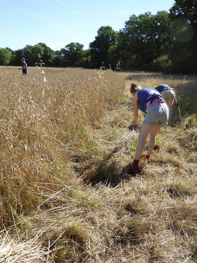 <a href='http://www.wheat-gateway.org.uk/hub.php?ID=51' target='_blank'>Blue Cone Rivet</a> getting harvested, our manual harvest at Lodge Farm - 10:45am&nbsp;13<sup>th</sup>&nbsp;Aug.&nbsp;'17  <a href='http://maps.google.com/?t=h&q=51.207978,-0.086742&z=18&output=embed' target=_blank><img src='http://www.brockwell-bake.org.uk/img/marker.png' style='border:none;vertical-align:top' height=16px></a>