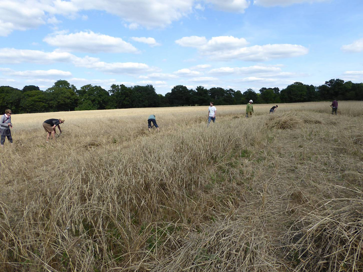our manual harvest at Lodge Farm - 3:47pm&nbsp;13<sup>th</sup>&nbsp;Aug.&nbsp;'17