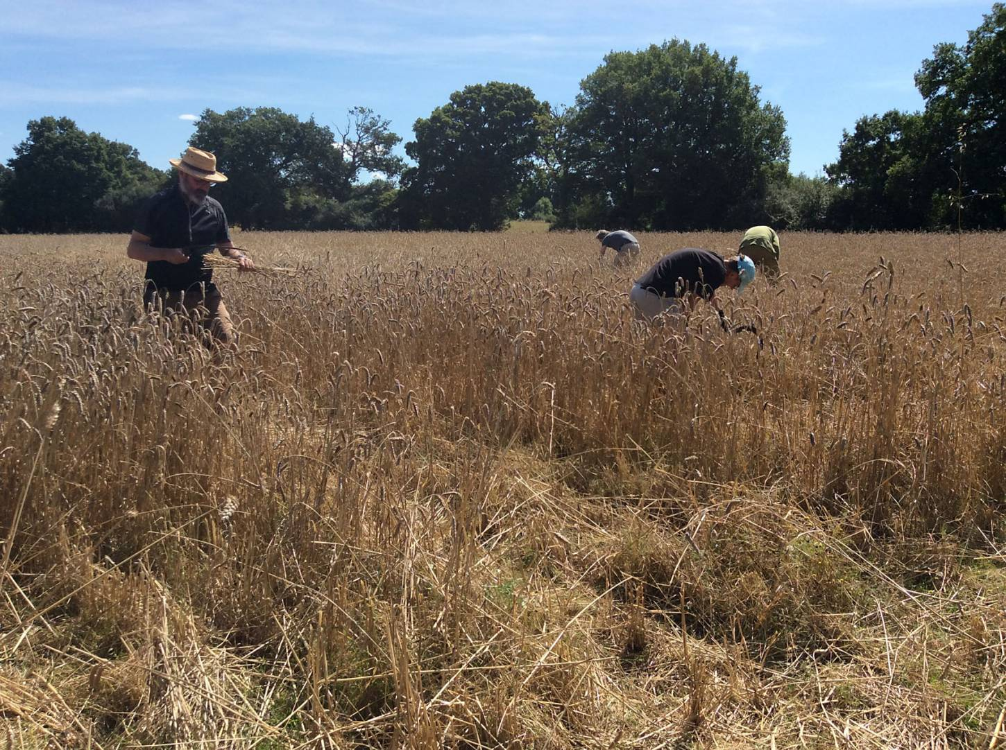 our manual harvest at Lodge Farm, pics = <a href='http://www.annbodkin.co.uk/' target='_blank'>Ann Bodkin</a> - 12:28pm&nbsp;13<sup>th</sup>&nbsp;Aug.&nbsp;'17