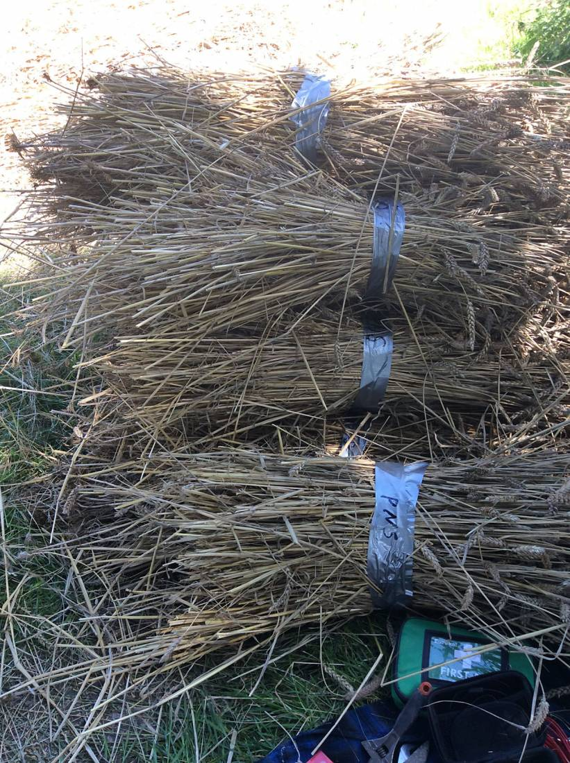 Purple Naked Spelt sheaves, our manual harvest at Lodge Farm, pics = <a href='http://www.annbodkin.co.uk/' target='_blank'>Ann Bodkin</a> - 2:01pm&nbsp;13<sup>th</sup>&nbsp;Aug.&nbsp;'17