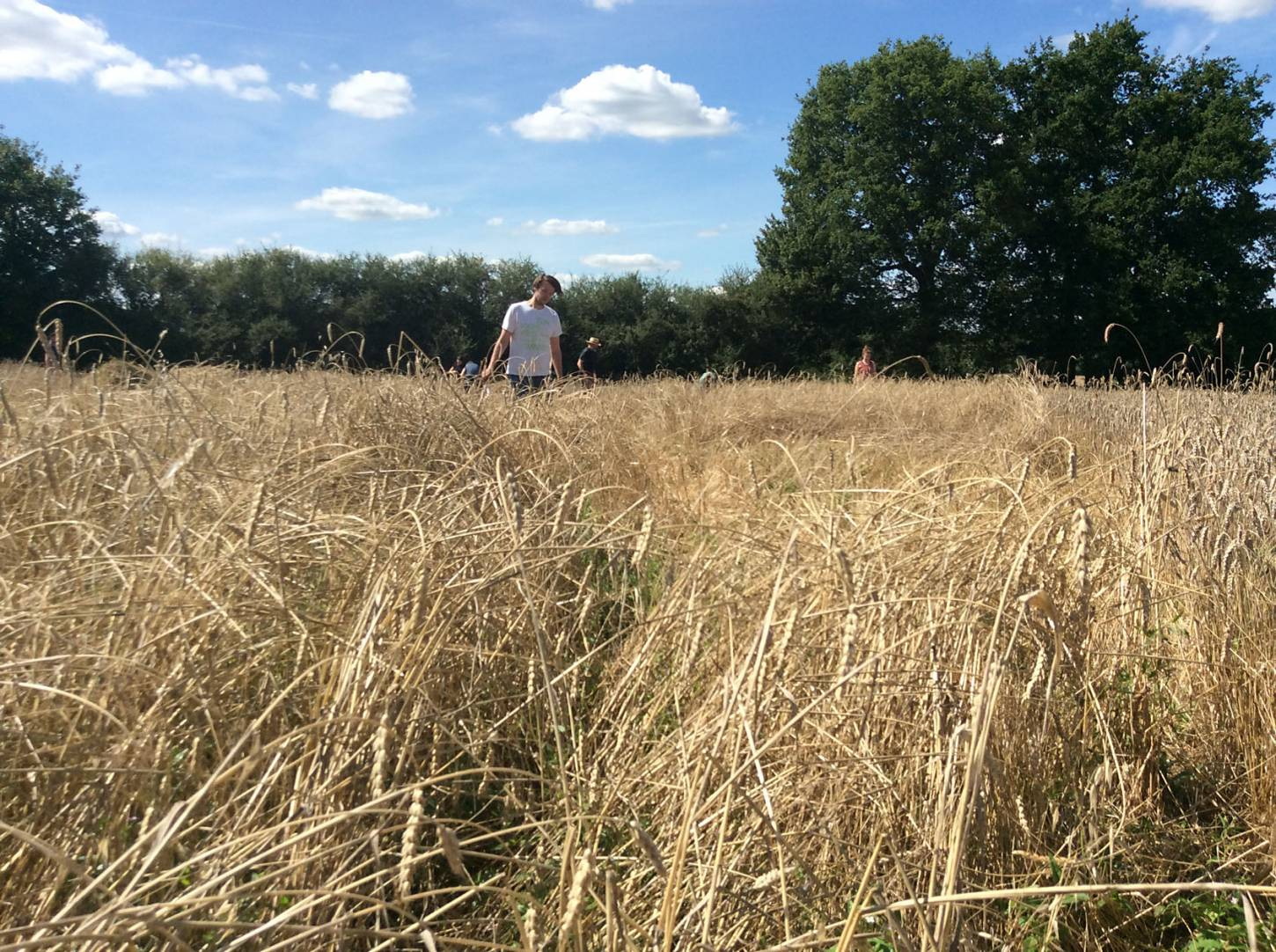 our manual harvest at Lodge Farm, pics = <a href='http://www.annbodkin.co.uk/' target='_blank'>Ann Bodkin</a> - 1:58pm&nbsp;13<sup>th</sup>&nbsp;Aug.&nbsp;'17