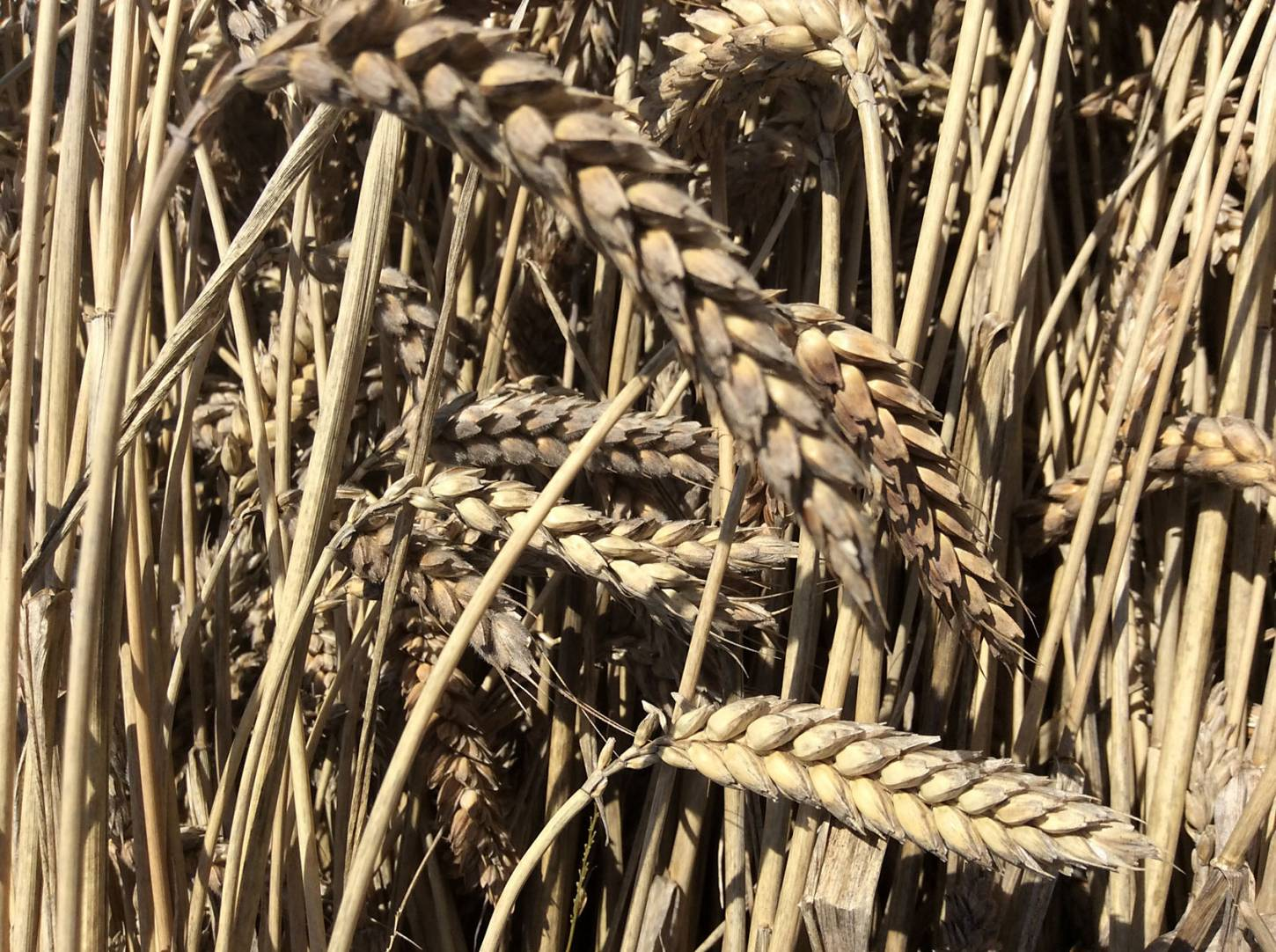 Purple Naked Spelt sheaf, our manual harvest at Lodge Farm, pics = <a href='http://www.annbodkin.co.uk/' target='_blank'>Ann Bodkin</a> - 12:28pm&nbsp;13<sup>th</sup>&nbsp;Aug.&nbsp;'17