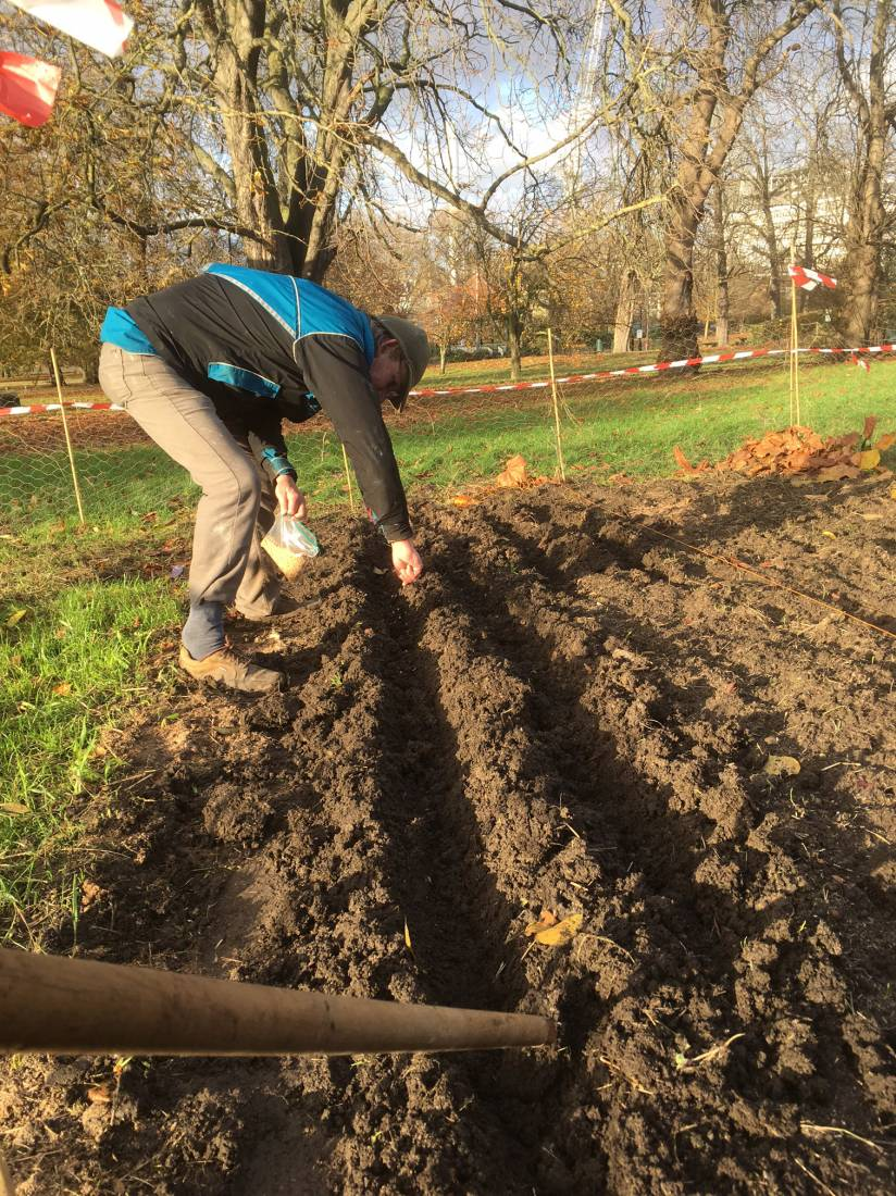 sowing Lys Brun and Miller's Choice on Ruskin Park - 2:11pm&nbsp;22<sup>nd</sup>&nbsp;Nov.&nbsp;'16  <a href='http://maps.google.com/?t=h&q=51.464972,-0.092528&z=15' target=_blank><img src='http://www.brockwell-bake.org.uk/img/marker.png' style='border:none;vertical-align:top' height=16px></a>