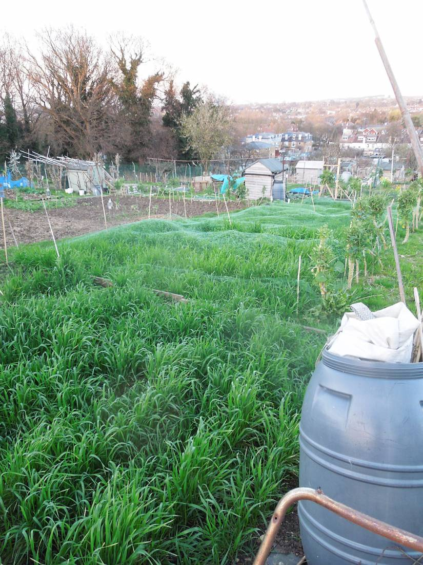 purple naked  spelt and other heritage winter wheat lines on allotment romping away, early Spring - 7:06pm&nbsp;15<sup>th</sup>&nbsp;Mar.&nbsp;'17