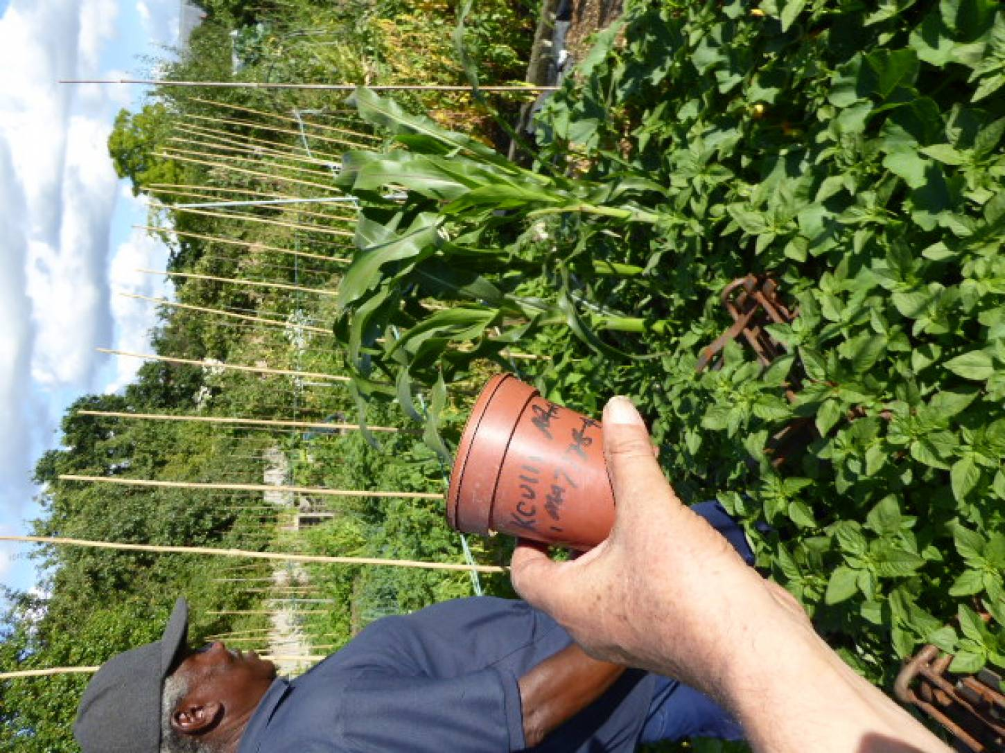 Peruvian maize seeds passed to Roy on allotments - 5:57pm&nbsp;3<sup>rd</sup>&nbsp;Jul.&nbsp;'17  <a href='http://maps.google.com/?t=h&q=51.444169,-0.098864&z=18&output=embed' target=_blank><img src='http://www.brockwell-bake.org.uk/img/marker.png' style='border:none;vertical-align:top' height=16px></a>