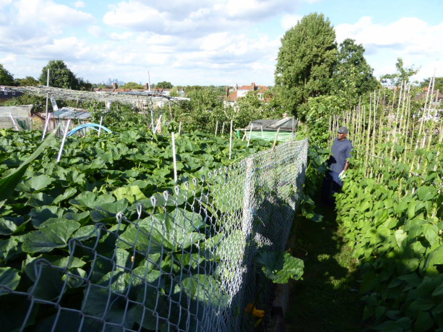 Peruvian maize seeds passed to Roy on allotments - 5:55pm&nbsp;3<sup>rd</sup>&nbsp;Jul.&nbsp;'17  <a href='http://maps.google.com/?t=h&q=51.444194,-0.099431&z=18&output=embed' target=_blank><img src='http://www.brockwell-bake.org.uk/img/marker.png' style='border:none;vertical-align:top' height=16px></a>