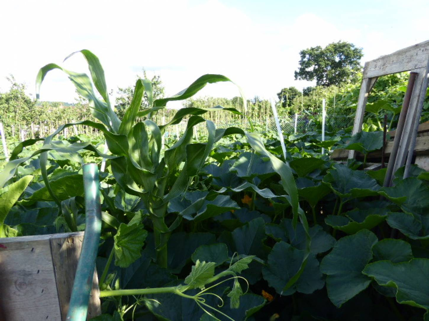 Peruvian maize seeds passed to Roy on allotments - 5:56pm&nbsp;3<sup>rd</sup>&nbsp;Jul.&nbsp;'17  <a href='http://maps.google.com/?t=h&q=51.444281,-0.099508&z=18&output=embed' target=_blank><img src='http://www.brockwell-bake.org.uk/img/marker.png' style='border:none;vertical-align:top' height=16px></a>