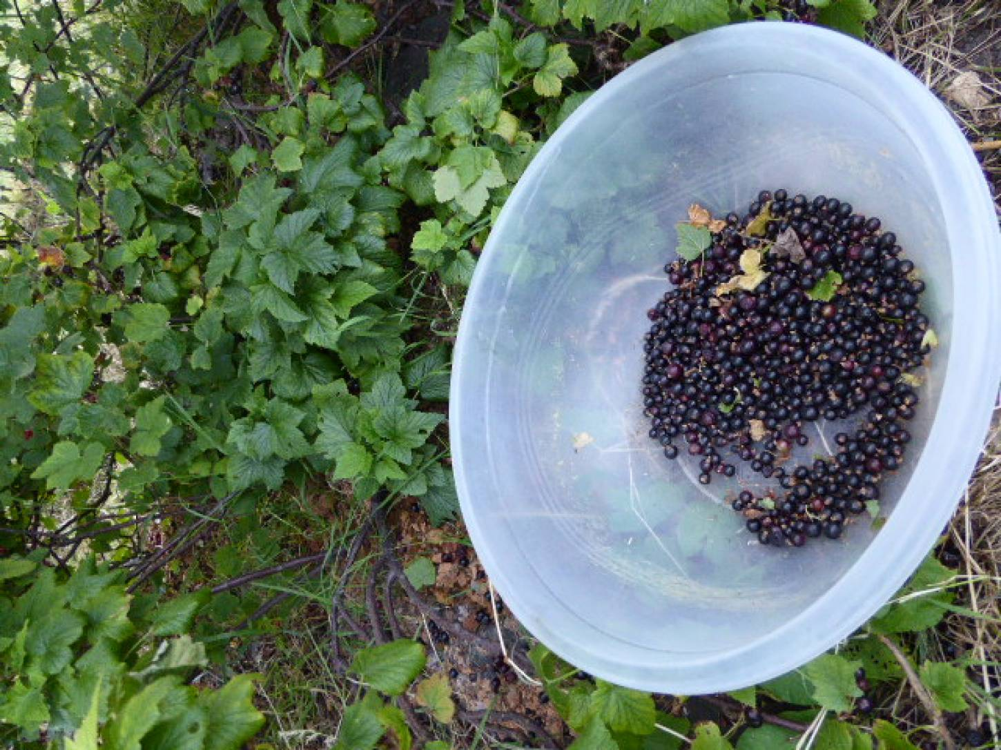 black currant harvest 2017 - 8:48pm&nbsp;3<sup>rd</sup>&nbsp;Jul.&nbsp;'17  <a href='http://maps.google.com/?t=h&q=51.444147,-0.101314&z=18&output=embed' target=_blank><img src='http://www.brockwell-bake.org.uk/img/marker.png' style='border:none;vertical-align:top' height=16px></a>