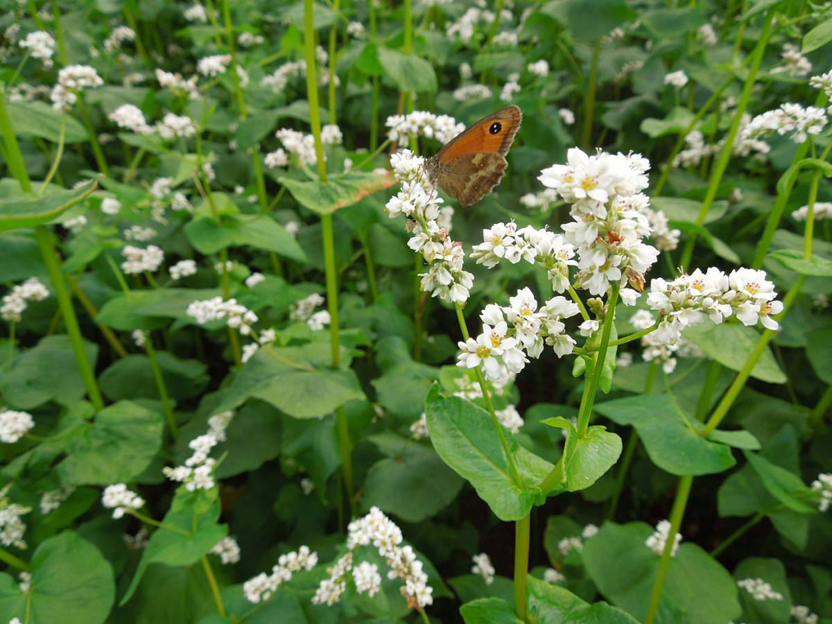 the 'Black Harp' Breton variety buckwheat on WoWo + butterfly - 10:34am&nbsp;26<sup>th</sup>&nbsp;Jul.&nbsp;'14