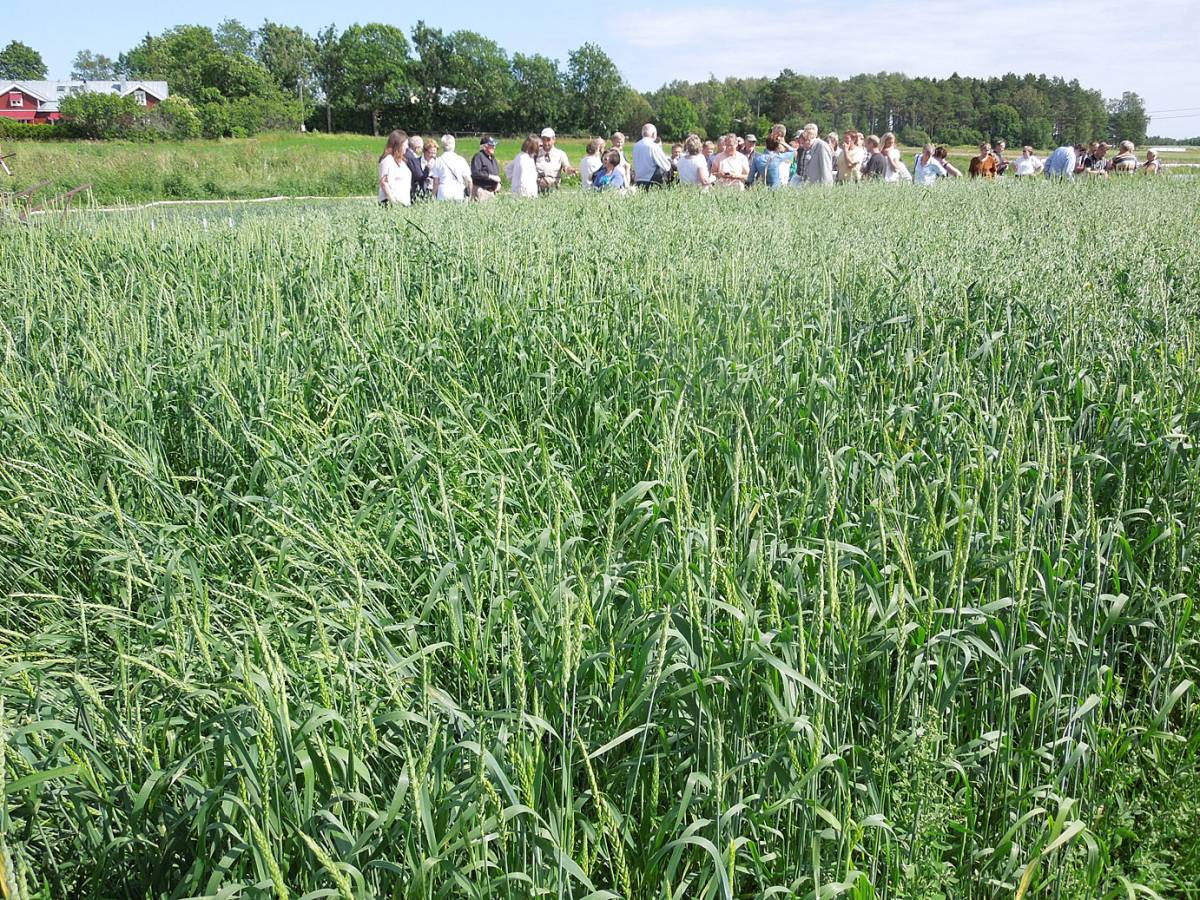 BBA > Nordic > visit Joomla research station heritage cereals trials - 1:21pm&nbsp;15<sup>th</sup>&nbsp;Jul.&nbsp;'14