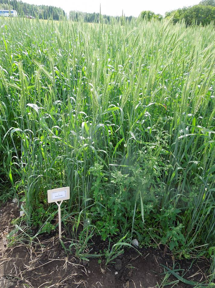BBA > Nordic > visit Joomla research station heritage cereals trials > Brun borstig wheat - 1:48pm&nbsp;15<sup>th</sup>&nbsp;Jul.&nbsp;'14