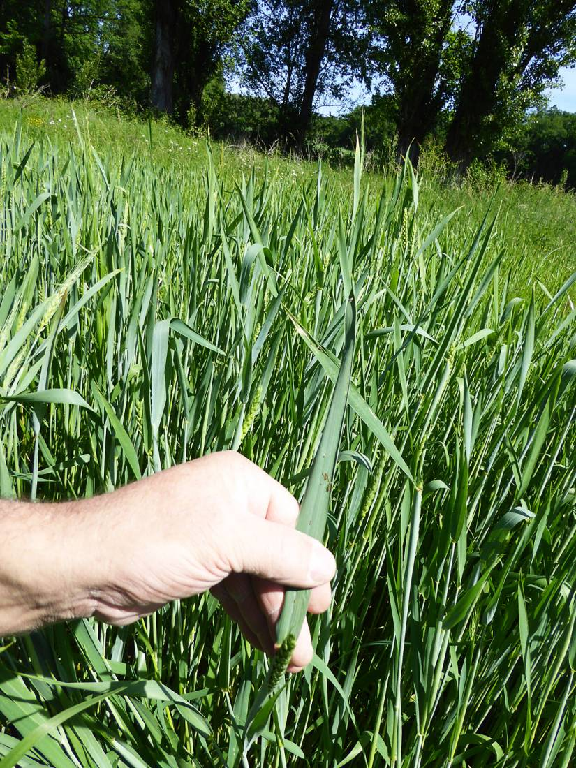 visiting heritage wheat farmer <a href='https://www.facebook.com/paysanbio.semencespaysannes' target='_blank'>Phillipe Guichard</a>, France, May '17 - 10:53am&nbsp;15<sup>th</sup>&nbsp;May.&nbsp;'17  <a href='http://maps.google.com/?t=h&q=44.478131,0.656417&z=18&output=embed' target=_blank><img src='http://www.brockwell-bake.org.uk/img/marker.png' style='border:none;vertical-align:top' height=16px></a>