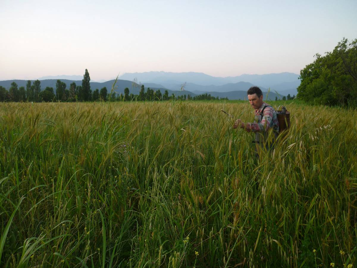 Jean-Jaques in a field of Tsiteli Doli applying bio-dynamic preparation - 8:48pm&nbsp;27<sup>th</sup>&nbsp;Jun.&nbsp;'11