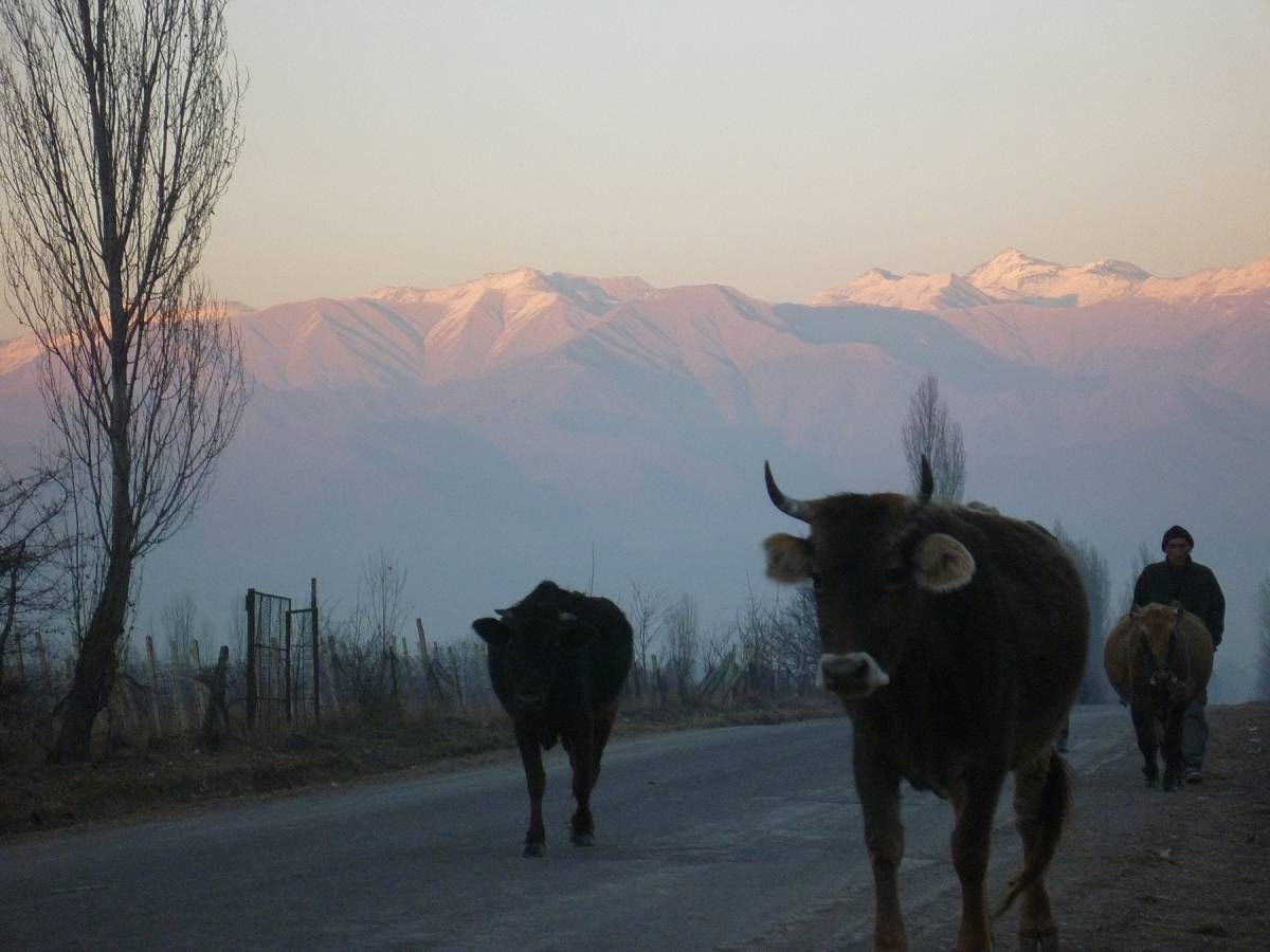 cows come home at the end of the day - underneath the mountains of the Caucasus - 5:28pm&nbsp;23<sup>rd</sup>&nbsp;Dec.&nbsp;'10
