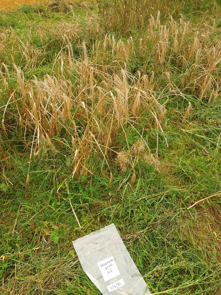 Heidersnag Erste Naked Barley - WoWo Farm harvest - 5:50pm&nbsp;2<sup>nd</sup>&nbsp;Sep.&nbsp;'12