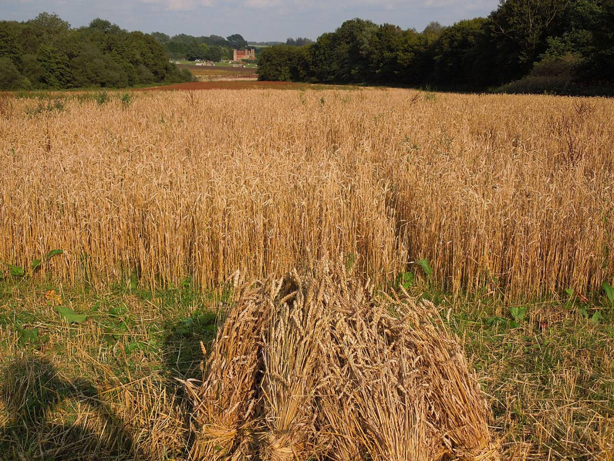 Paragon crop in field Hunters - WoWo Farm harvest - 4:48pm&nbsp;3<sup>rd</sup>&nbsp;Sep.&nbsp;'12