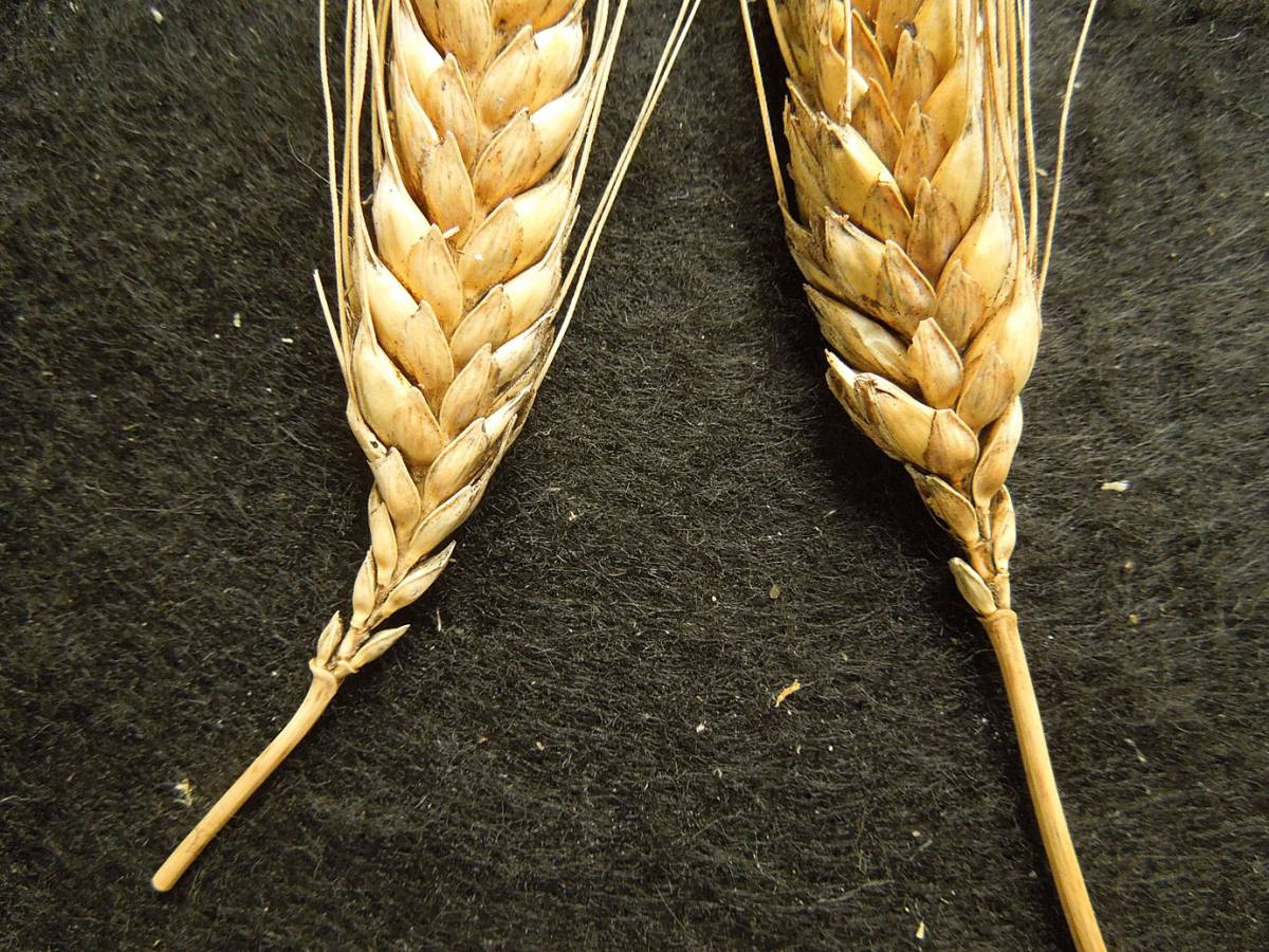 possible triticale or cross between Georgian wheat and a regular bread wheat - 10:48am&nbsp;30<sup>th</sup>&nbsp;Aug.&nbsp;'12