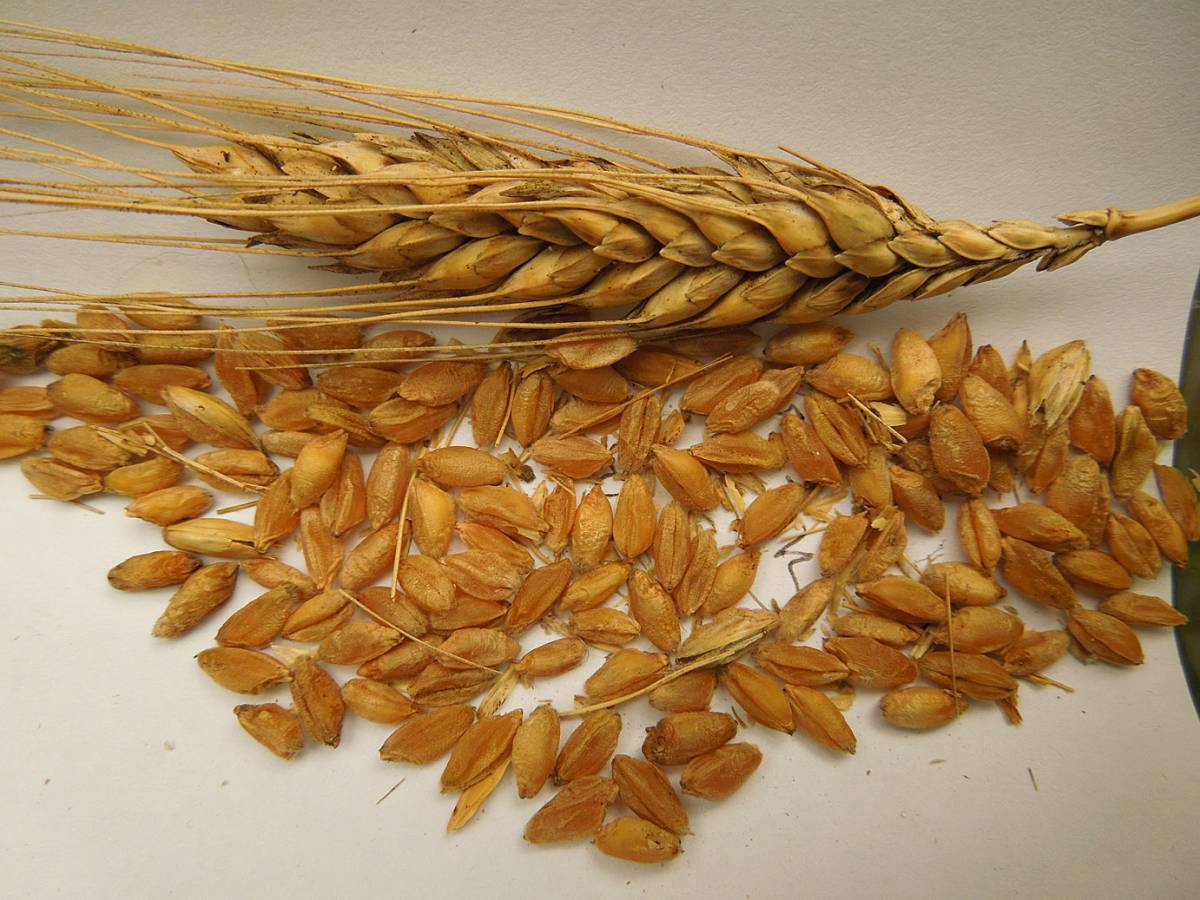 possible triticale or cross between Georgian wheat and a regular bread wheat - 10:54am&nbsp;30<sup>th</sup>&nbsp;Aug.&nbsp;'12