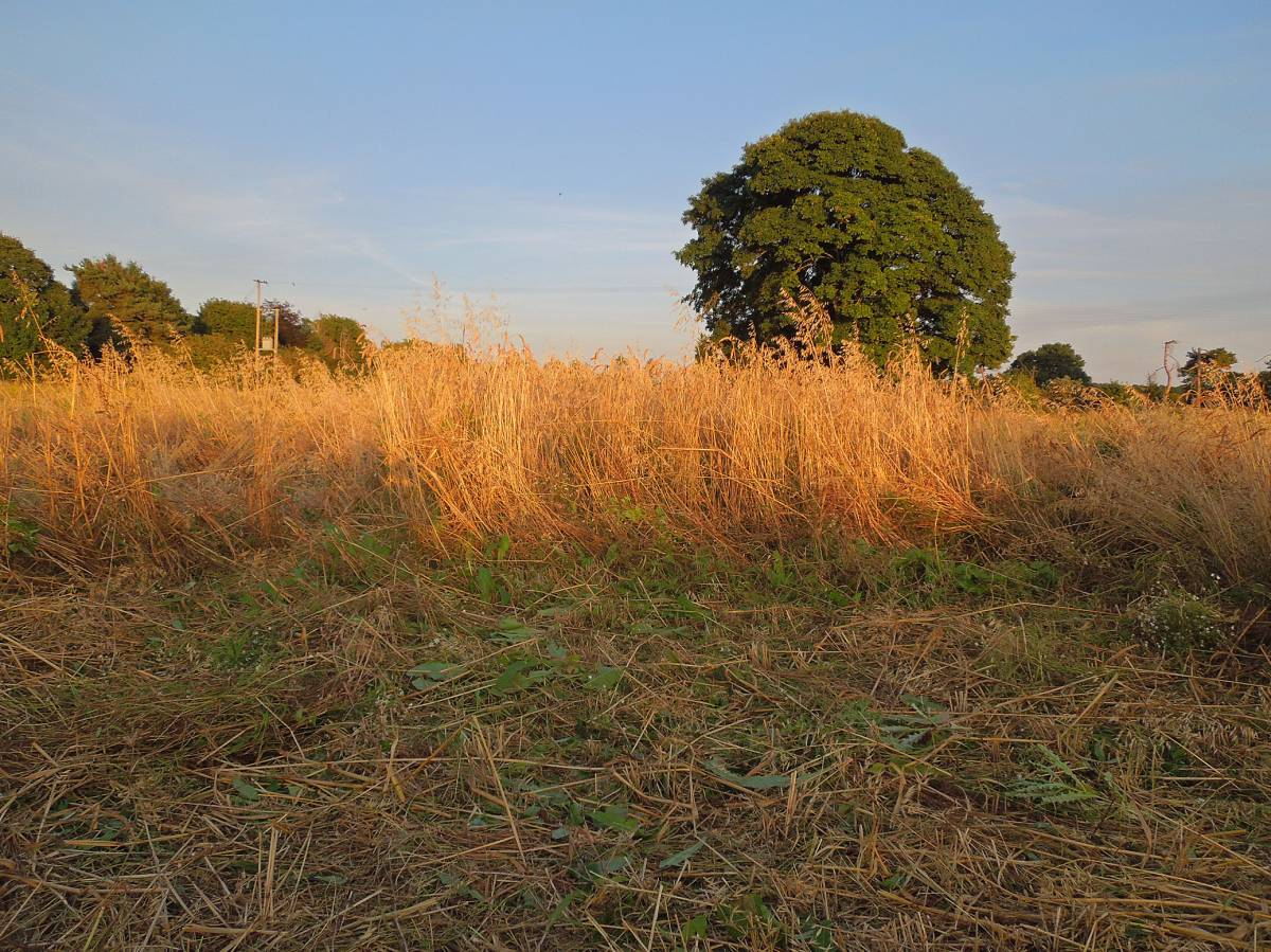 Kentisch Red Straw - Perry Court Farm nr.Canterbury - 7:53pm&nbsp;14<sup>th</sup>&nbsp;Aug.&nbsp;'12