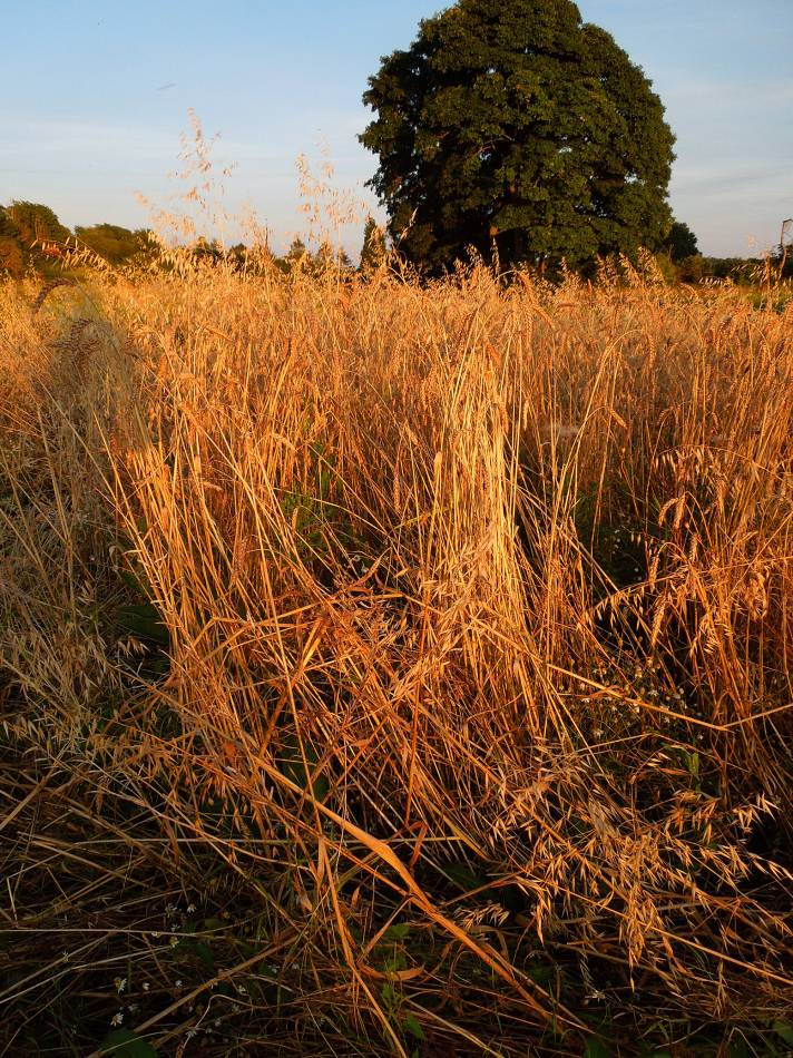 Kentisch Red Straw - Perry Court Farm nr.Canterbury - 7:59pm&nbsp;14<sup>th</sup>&nbsp;Aug.&nbsp;'12