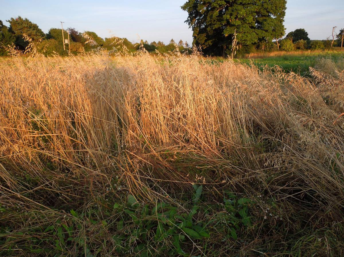 Kentisch Red Straw - Perry Court Farm nr.Canterbury - 8:00pm&nbsp;14<sup>th</sup>&nbsp;Aug.&nbsp;'12