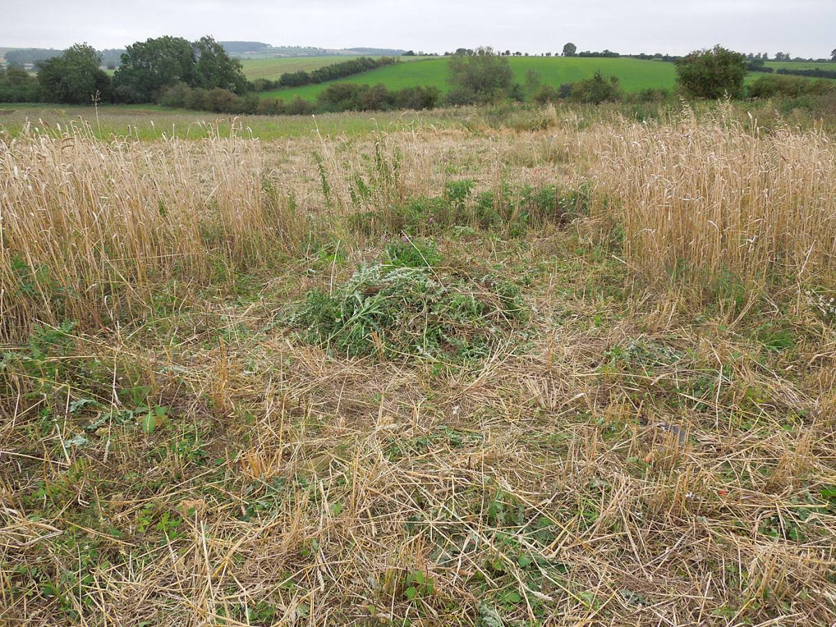 thistle patch cleared - Westmill Farm, Oxon - 4:44pm&nbsp;24<sup>th</sup>&nbsp;Aug.&nbsp;'12