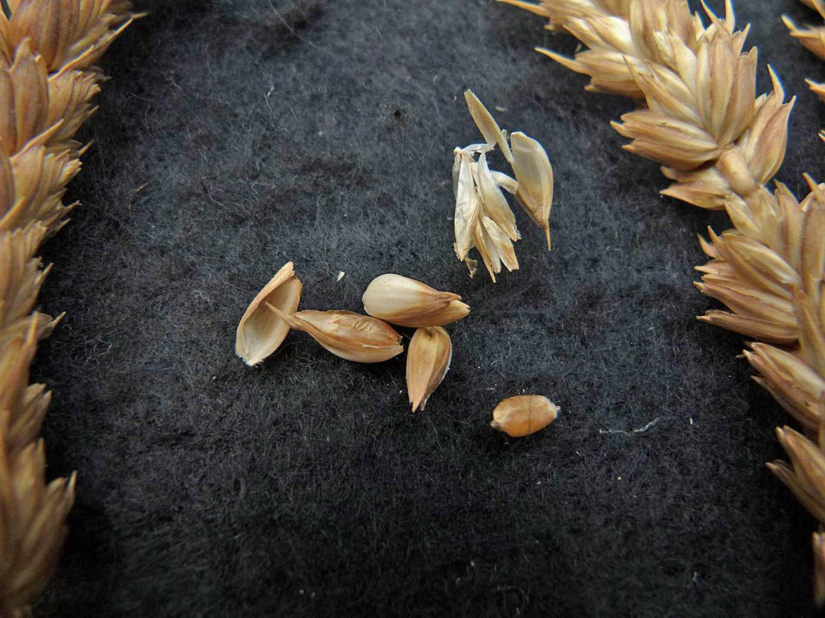 wheat identification images for <a href='http://www.wheat-gateway.org.uk/search.php?send=1&ID=88338&genes=1&bunt_a=1' target='_blank'>Lammas CGN04381</a> - 12:53pm&nbsp;31<sup>st</sup>&nbsp;Aug.&nbsp;'10