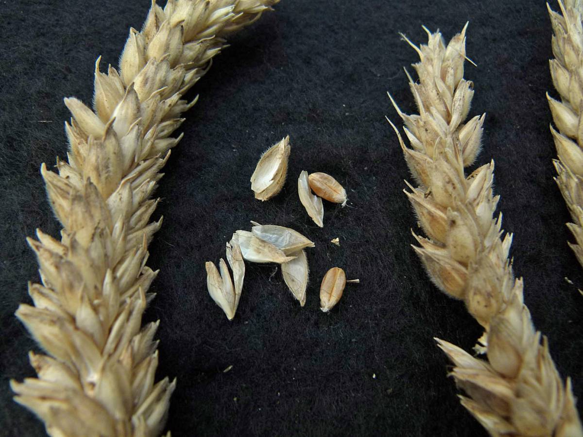 wheat identification images for <a href='http://www.wheat-gateway.org.uk/search.php?send=1&ID=40908&genes=1&bunt_a=1' target='_blank'>Ble Blanc A Duvet Veloute INRA 1410</a> - 11:19am&nbsp;31<sup>st</sup>&nbsp;Aug.&nbsp;'10