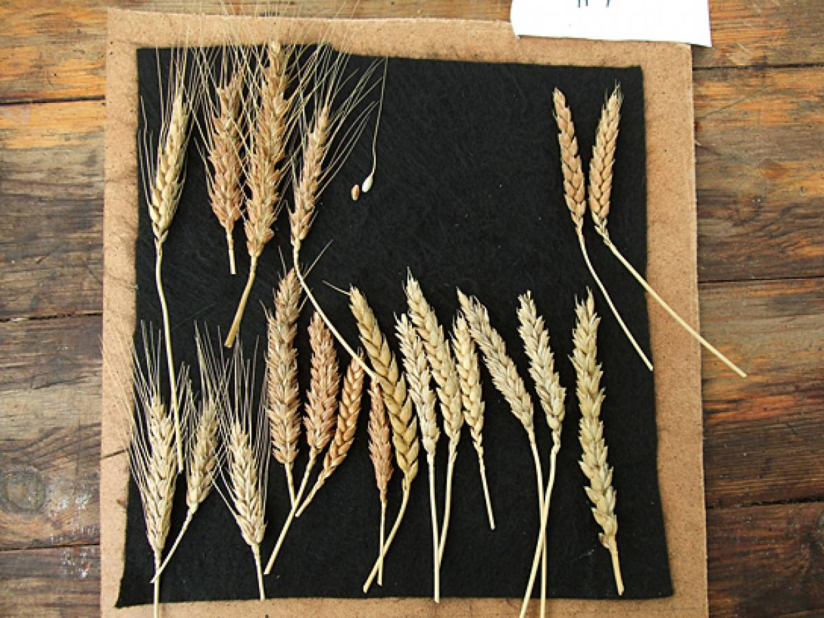 wheat identification images for Madeira types - 1:19pm&nbsp;9<sup>th</sup>&nbsp;Oct.&nbsp;'11