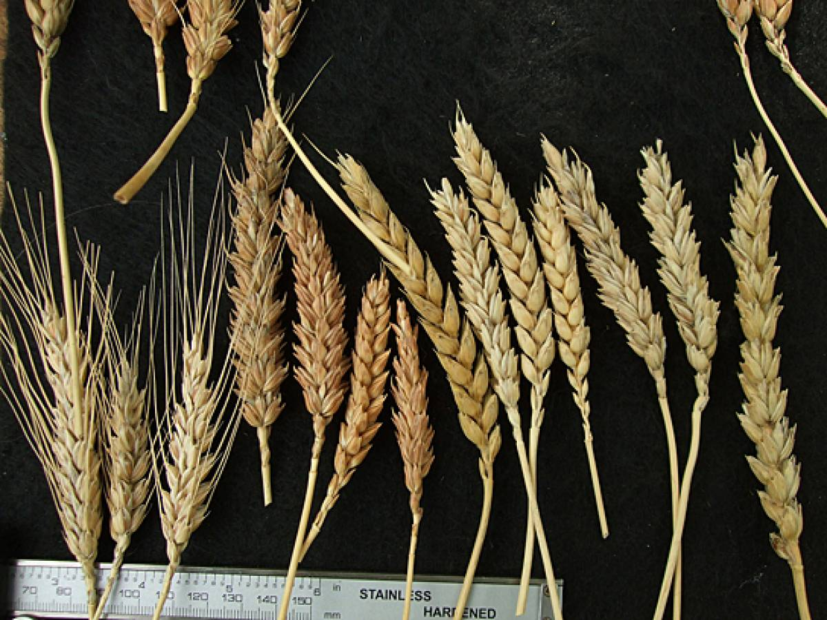 wheat identification images for Madeira types - 1:20pm&nbsp;9<sup>th</sup>&nbsp;Oct.&nbsp;'11