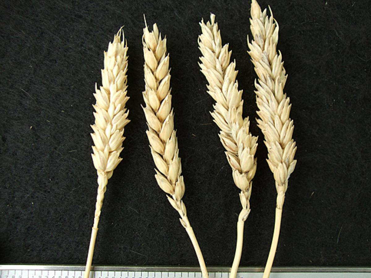 wheat identification images for Madeira types - 1:24pm&nbsp;9<sup>th</sup>&nbsp;Oct.&nbsp;'11