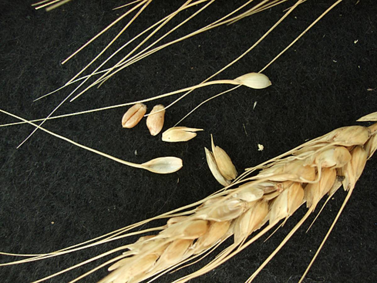 wheat identification images for Madeira types - 1:27pm&nbsp;9<sup>th</sup>&nbsp;Oct.&nbsp;'11