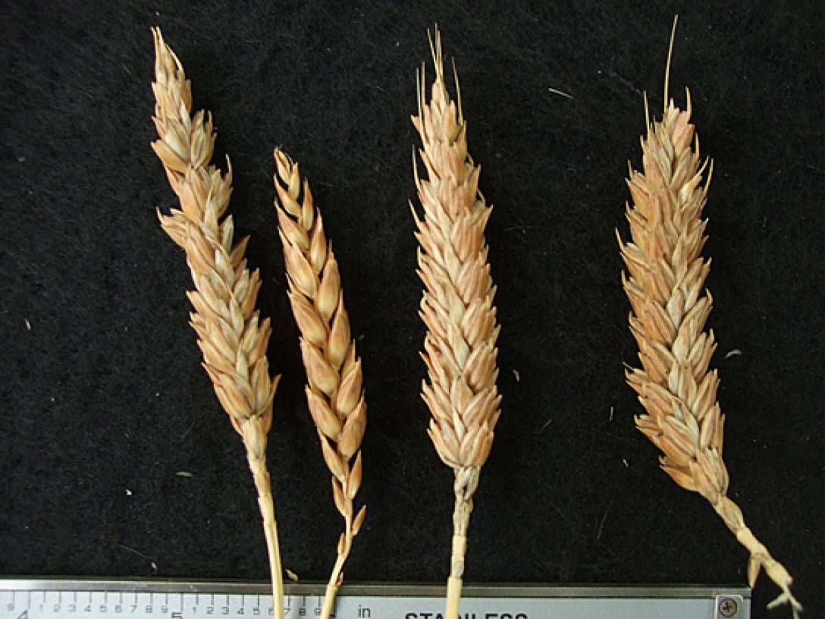 wheat identification images for Madeira types - 1:29pm&nbsp;9<sup>th</sup>&nbsp;Oct.&nbsp;'11