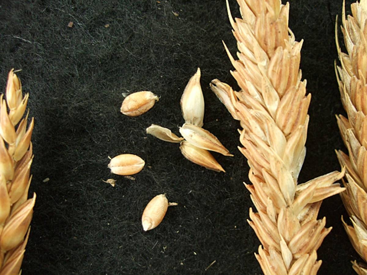 wheat identification images for Madeira types - 1:30pm&nbsp;9<sup>th</sup>&nbsp;Oct.&nbsp;'11