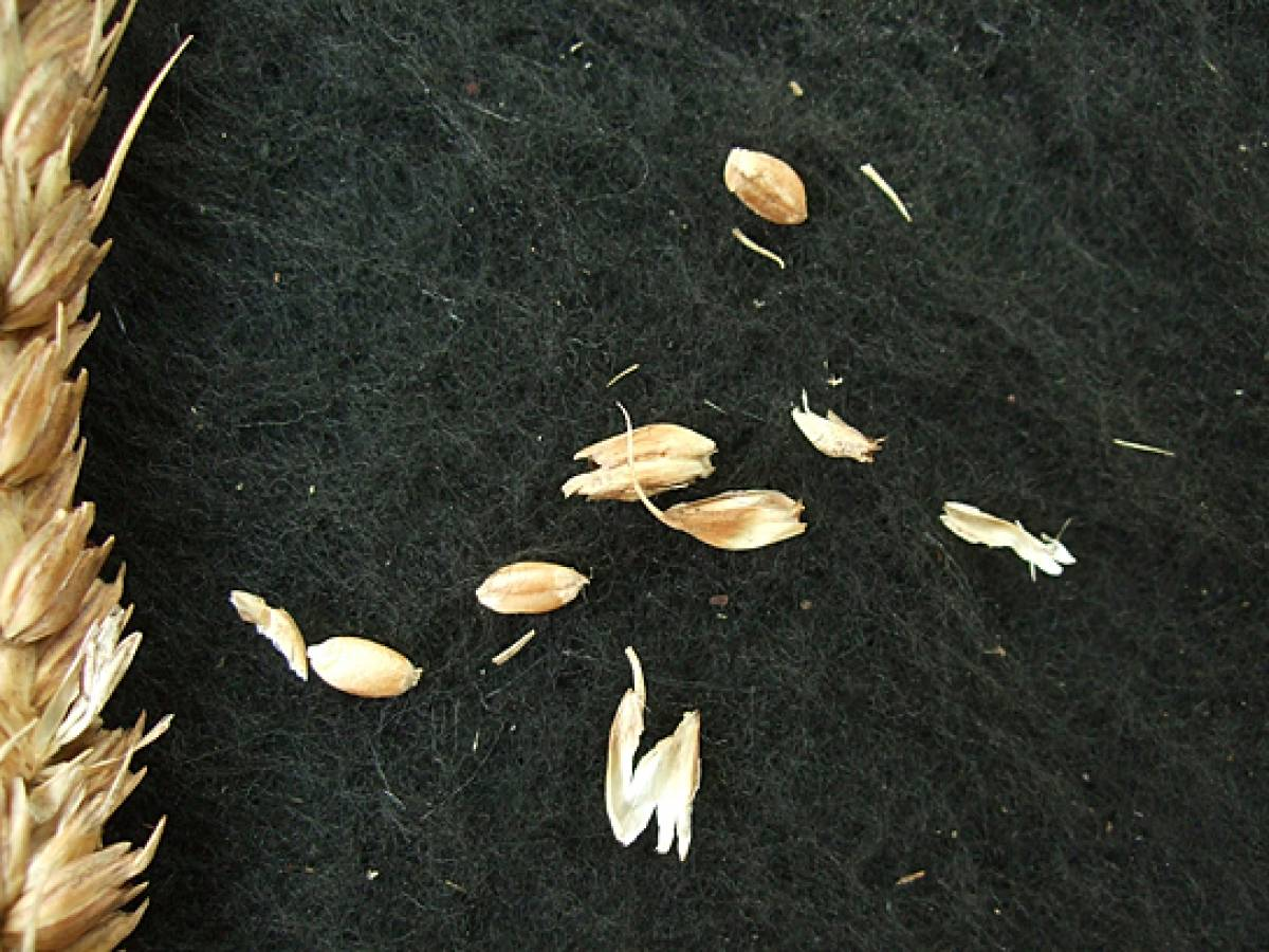 wheat identification images for Madeira types - 1:31pm&nbsp;9<sup>th</sup>&nbsp;Oct.&nbsp;'11